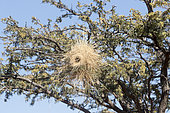 Savane avec Acacias portant des nids de Mahali à sourcils blancs (Plocepasser mahali), Désert du Kalahari, Afrique du Sud