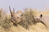 Black rhinoceros or hook-lipped rhinoceros (Diceros bicornis), mother and young, 3O years and 14 months old, Kalahari Desert, South African Republic
