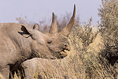 Black rhinoceros or hook-lipped rhinoceros (Diceros bicornis), adult female, 3O years old, Kalahari Desert, South African Republic