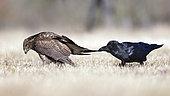 Grand corbeau (Corvus corax) tirant les plumes d'une Buse variable (Buteo buteo) au sol, Saxe-Anhalt, Allemagne