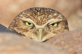 Burrowing Owl (Athene cunicularia), Arizona, USA