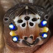 Oisillon nouveau-né de Diamant de Gould (Erythrura gouldiae) réclamant de la nourriture. L'intérieur de son bec grand ouvert affiche des motifs colorés dont la fonction n'est pas clairement établie. On présume toutefois que ce marquage, qui s'estompe à mesure que l'oisillon grandit, fait office de balisage pour guider les parents lors des becquées.