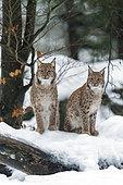 Eurasian lynx (Lynx lynx) sitting in the snow, Sumava National Park, Czech Republic
