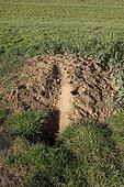 Freshly excavated soil outside active badger sett Cotswolds UK