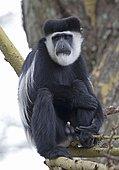 Adult male Colobus monkey (Colobus guereza) sitting in Acacia tree, Elsamere, Naivasha, Kenya