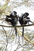 Two adult female Colobus monkeys with babies sitting in Acacia tree Elsamere Naivasha Kenya