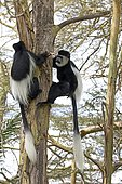 Adult Black and White Colobus monkeys climbing Colobus guereza Acacia tree Elsamere Naivasha Kenya