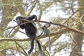Adult female Black and White Colobus monkey with young white baby sitting in Acacia tree Elsamere Naivasha Kenya