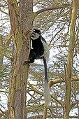 Adult Black and White Colobus monkey climbing Colobus guereza Acacia tree Elsamere Naivasha Kenya