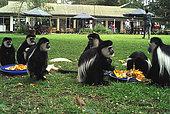 Group Colobus monkeys feeding on lawn Elsamere Naivasha Kenya