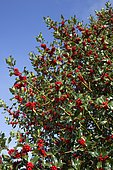 Holly tree (Ilex aquafolium) laden with bright red berries in September, Cotswolds UK