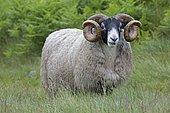Mature Scottish Blackface ram sheep Galloway Scotalnd