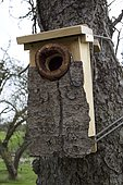 Spotted woodpecker nest box covered with bark strapped to tree Cotswolds UK