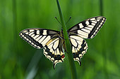 Old World swallowtail (Papilio machaon) on a leaf, Lorraine, France
