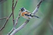 Brambling (Fringilla montifringilla) on a branch, Lorraine, France
