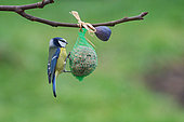 Eurasian Blue Tit (Cyanistes caeruleus) on seed ball, Lorraine, France