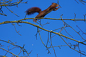 Eurasian red squirrel (Sciurus vulgaris), jumping , Lorraine, France