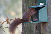 Eurasian red squirrel (Sciurus vulgaris) on a feeder, Lorraine, France