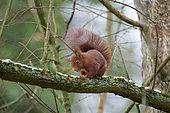 Eurasian red squirrel (Sciurus vulgaris) scratching itself, Lorraine, France