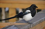 Black-billed Magpie P(ica hudsonia), Katmai National park, Alaska, USA