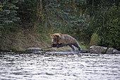 Grizzly (Ursus arctos horribilis) female jumping on salmons, Katmai National park, Alaska, USA