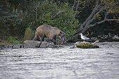 Grizzly (Ursus arctos horribilis) eating on salmon, Katmai National park, Alaska, USA