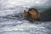 Grizzly (Ursus arctos horribilis) in water, Katmai National park, Alaska USA