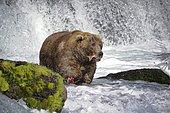 Grizzly (Ursus arctos horribilis) fishing in water, Katmai National park, Alaska USA