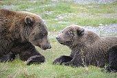 Grizzly (Ursus arctos horribilis) with cub, Katmai National park, Alaska, USA