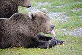 Grizzly (Ursus arctos horribilis), Katmai National park, Alaska, USA