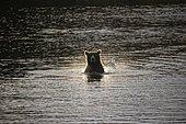 Grizzly (Ursus arctos horribilis) in water at dusk, Katmai National park, Alaska, USA