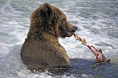 Grizzly (Ursus arctos horribilis) eating in water, Katmai National park, Alaska USA
