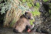 Grizzly (Ursus arctos horribilis) cub and salmon, Katmai National park, Alaska USA