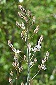 Branched asphodel (Asphodelus ramosus), Portugal