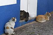 Domestic cat (Felis silvestris catus), Portugal