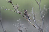 Common Linnet (Linaria cannabina) female collecting materials for nesting, Portugal