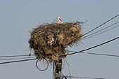 White stork (Ciconia ciconia) at nest on electric pole, Cap Sardao, Portugal