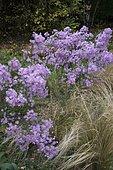 Aster (Aster ericoides) 'Pink Star', Feather grass (Stipa tenuissima), garden in autumn, Ariège, France
