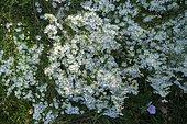 Heath Aster (Aster pringlei) 'Monte Cassino', garden in autumn, Ariège, France