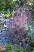 Little Bluestem (Schizachyrium scoparium) 'Blue Haven', slate path, garden in autumn, Ariège, France