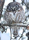 Tengmalm's Owl (Aegolius funereus) resting in a pine forest, Quebec, Canada