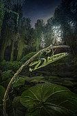 Mante religieuse (Mantis religiosa) au clair de lune dans une forêt près du Po, Luzzara, Reggio Emilia, Italie du Nord