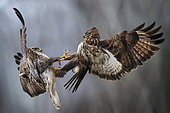 two buzzards fighting in the air, Valli di Argenta, Ferrara, Italy