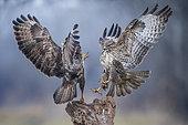 Two Buzzards (Buteo buteo) fighting for the perch, Valli di Argenta, Ferrara, Italy