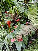 Anthurium, Chlorophytum comosum, Cordyline fructicosa 'Tricolor', Guzmania lingulata, Jardin tropical, Le Parc floral de la Court d'Aron, Saint-Cyr-en-Talmondais, Vendée, France