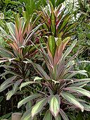 Cordyline fructicosa 'Tricolor', Jardin tropical, Le Parc floral de la Court d'Aron, Saint-Cyr-en-Talmondais, Vendée, France