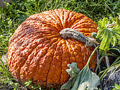 Cucurbita maxima 'Red Warty Thing'
