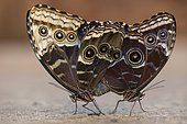 Giant Owl (Caligo memnon), mating, captive, Emsland, Lower Saxony, Germany, Europe