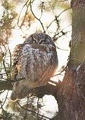 Tengmalm's Owl (Aegolius funereus) on pine forest, Québec Canada