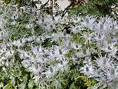 Eryngium alpinum (Chardon Bleu des Alpes), Parc national de la Vanoise, Savoie, France